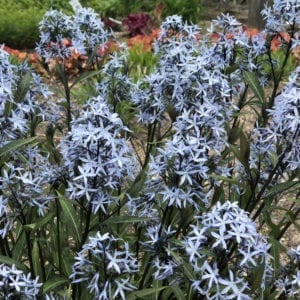 AMSONIA STORM CLOUD BLUESTAR