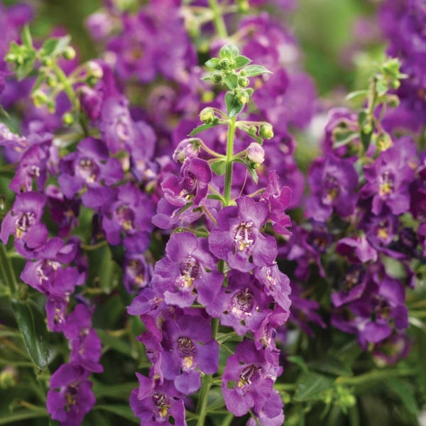 ANGELONIA ANGELFACE BLUE SUMMER SNAPDRAGON