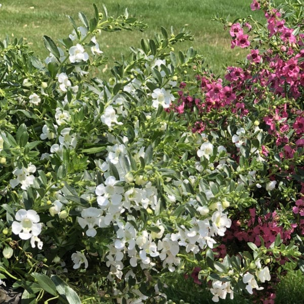 ANGELONIA ANGELFACE CASCADE WHITE SUMMER SNAPDRAGON