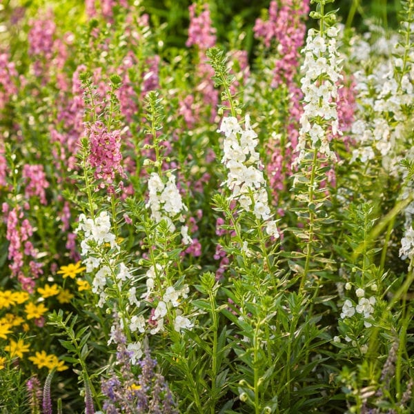 ANGELONIA ANGELFACE SUPER WHITE SUMMER SNAPDRAGON
