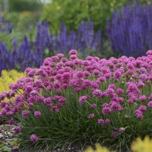 ARMERIA BLOODSTONE THRIFT