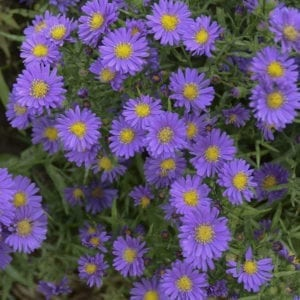 Aster - Hardy