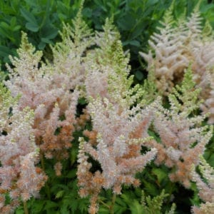 ASTILBE MILK AND HONEY FALSE SPIREA