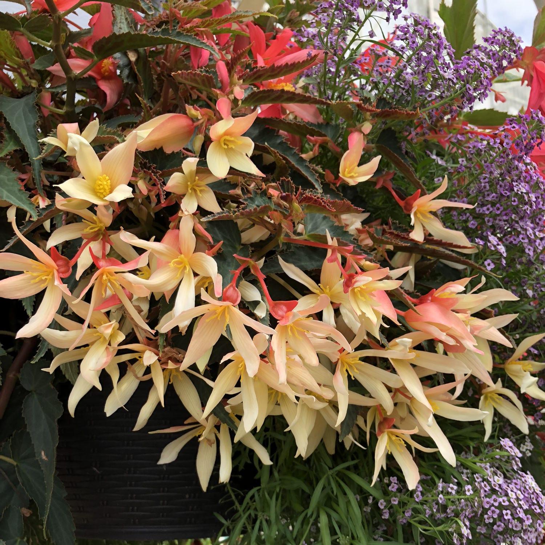 Bossa Nova Yellow Begonia Garden Crossings