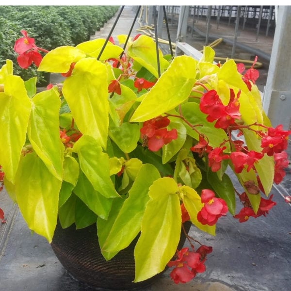 BEGONIA CANARY WINGS BEGONIA