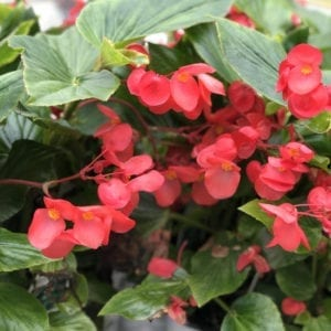 BEGONIA DRAGON WING RED BEGONIA ANGELWING