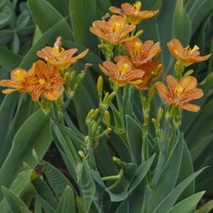 Belamcanda - Blackberry Lily