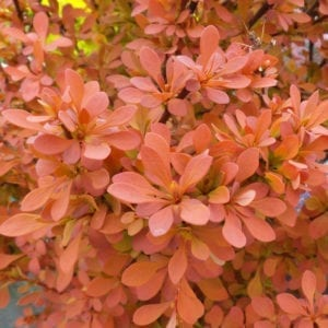 BERBERIS SUNJOY CINNAMON BARBERRY