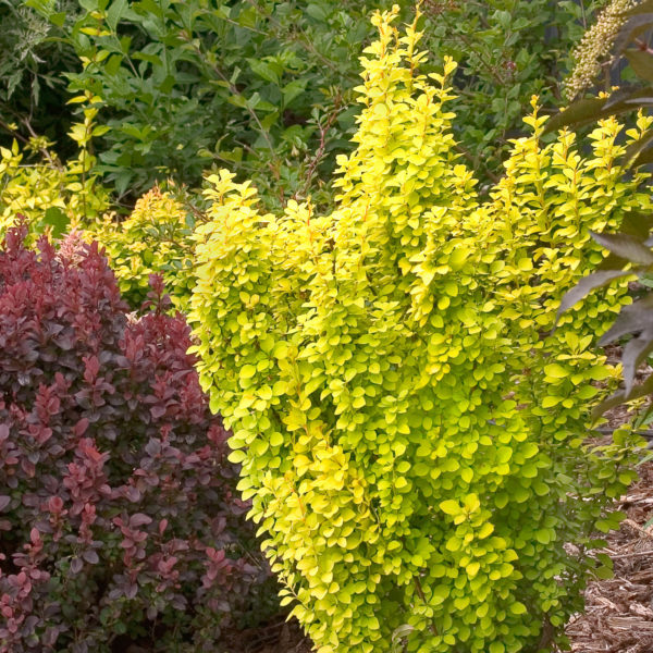 BERBERIS SUNJOY GOLD PILAR BARBERRY