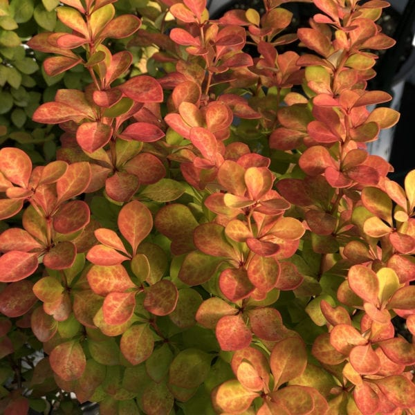 BERBERIS SUNJOY GOLD PILLAR BARBERRY
