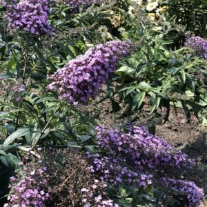BUDDLEIA GRAND CASCADE BUTTERFLY BUSH