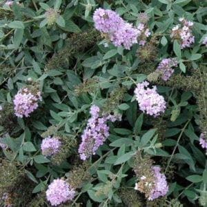 BUDDLEIA LO AND BEHOLD LILAC CHIP BUTTERFLY BUSH