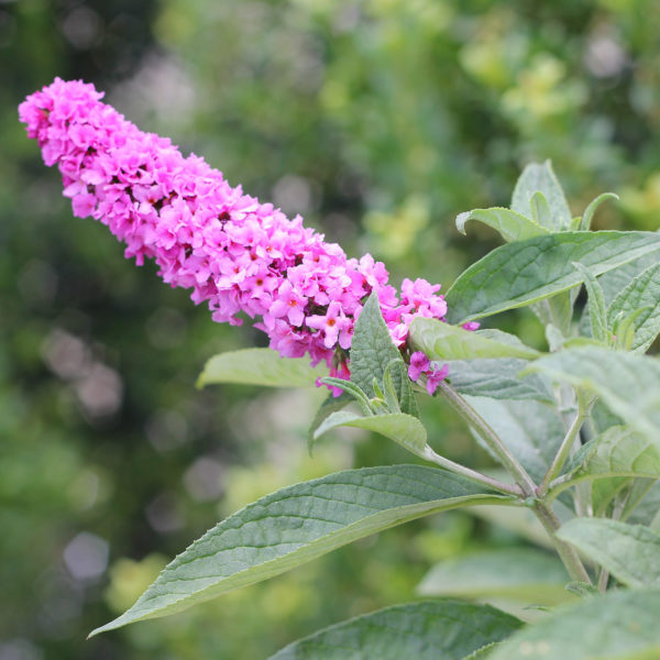BUDDLEIA LO AND BEHOLD PINK MICRO CHIP BUTTERFLY BUSH