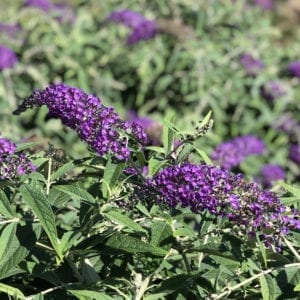 BUDDLEIA LO AND BEHOLD PURPLE HAZE BUTTERFLY BUSH