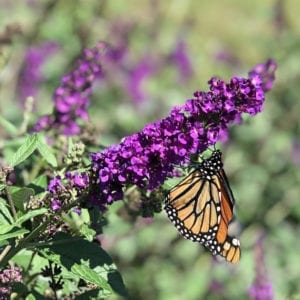 BUDDLEIA MISS VIOLET BUTTERFLY BUSH