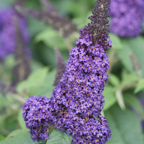 BUDDLEIA PUGSTER BLUE BUTTERFLY BUSH