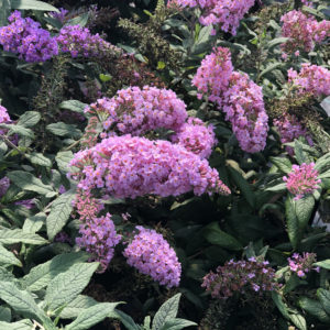 BUDDLEIA PUGSTER PINK BUTTERFLY BUSH