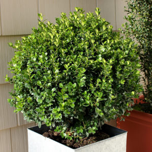 BUXUS SPRINTER BOXWOOD