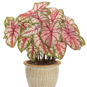CALADIUM HEART TO HEART BOTTLE ROCKET STRAP LEAF CALADIUM