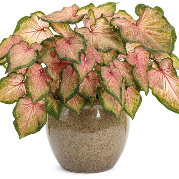 CALADIUM HEART TO HEART CHINOOK STRAP LEAF CALADIUM