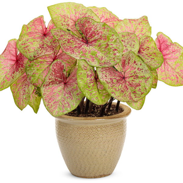 CALADIUM HEART TO HEART RASPBERRY MOON FANCY LEAF CALADIUM