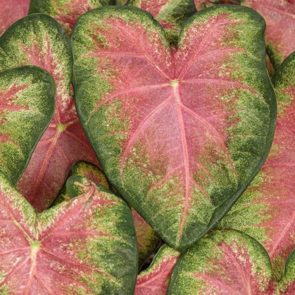 CALADIUM HEART TO HEART ROSE GLOW FANCY LEAF CALADIUM