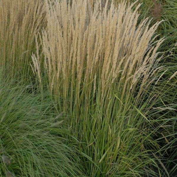 CALAMAGROSTIS KARL FOERSTER FEATHER REED GRASS