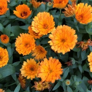 Calendula - English Marigold