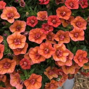 CALIBRACHOA SUPERBELLS DOUBLE ORANGE MILLIONBELLS
