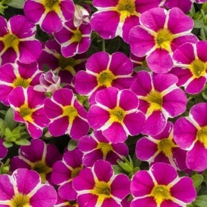 Calibrachoa - Superbells®
