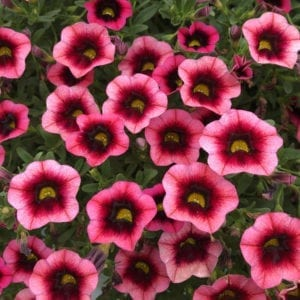 CALIBRACHOA SUPERBELLS WATERMELON PUNCH MILLIONBELLS