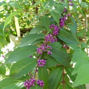 CALLICARPA PEARL GLAM BEAUTYBERRY