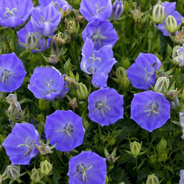 CAMPANULA RAPIDO BLUE BELLFLOWER