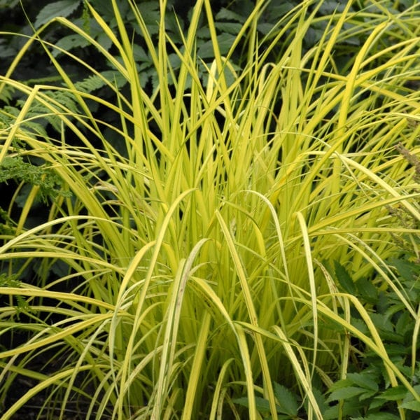 CAREX BOWLES GOLDEN SEDGE GRASS