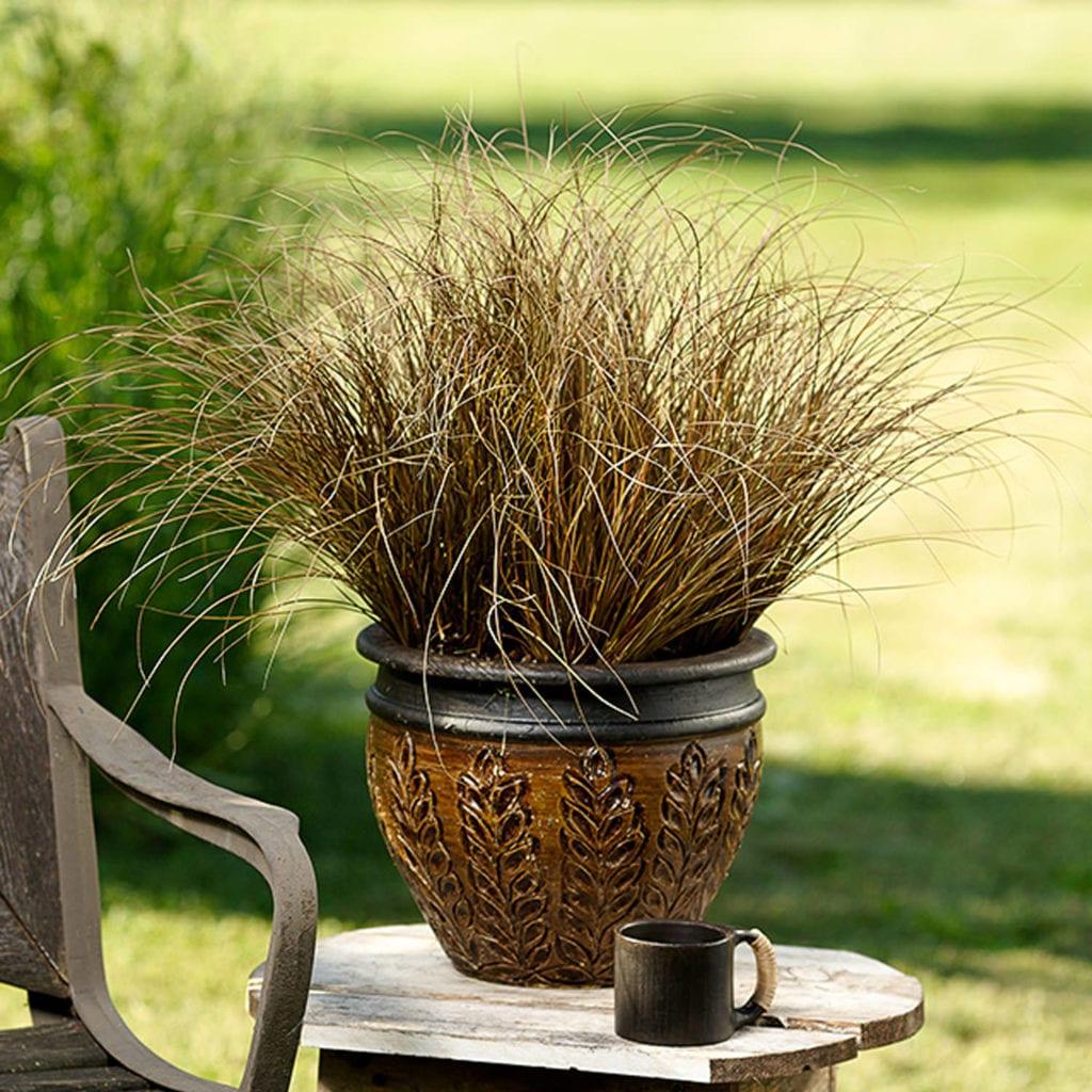 CAREX GRACEFUL GRASSES TOFFEE TWIST SEDGE GRASS