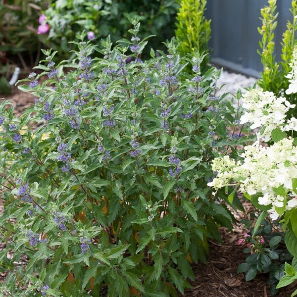 CARYOPTERIS BEYOND MIDNIGHT BLUEBEARD