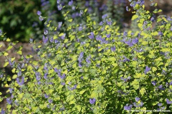 CARYOPTERIS SUNSHINE BLUE II BLUEBEARD
