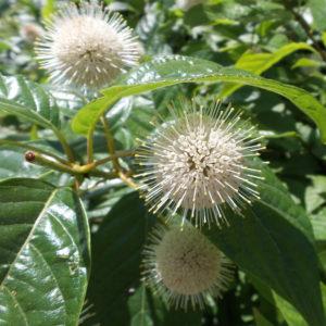 Buttonbush - Cephalanthus