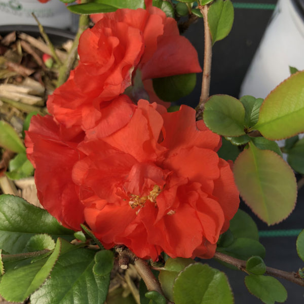 CHAENOMELES DOUBLE TAKE ORANGE QUINCE