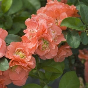 Quince Flowering - Chaenomeles