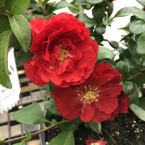 CHAENOMELES DOUBLE TAKE SCARLET QUINCE