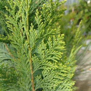 False Cypress - Chamaecyparis