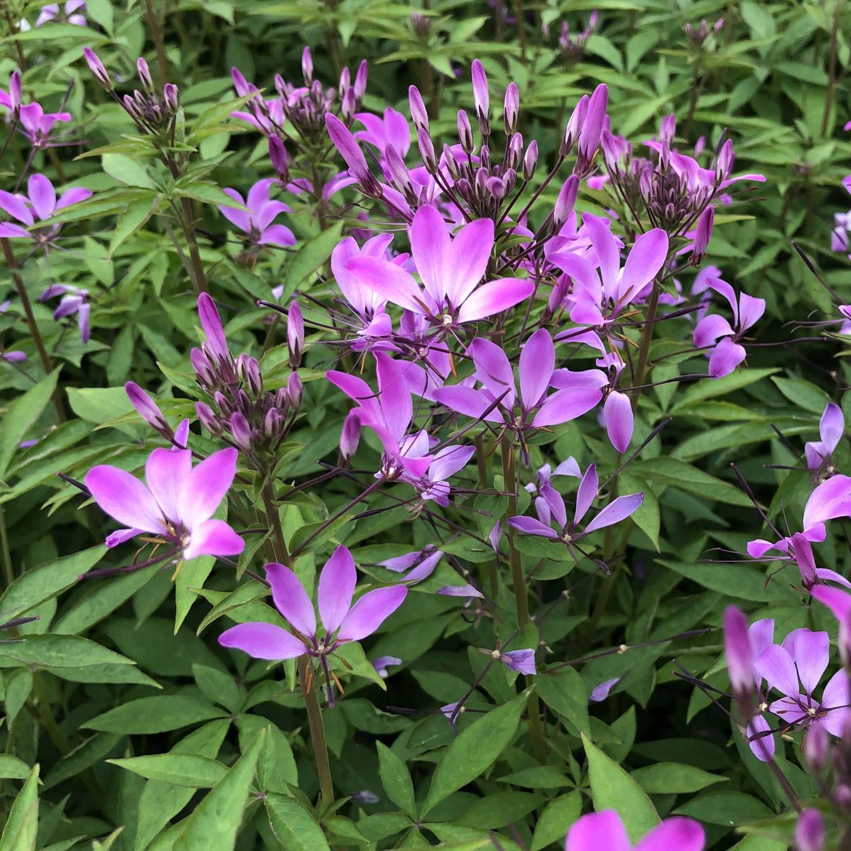 Cleome Senorita Rosalita Buy Spider Flower Annuals Online
