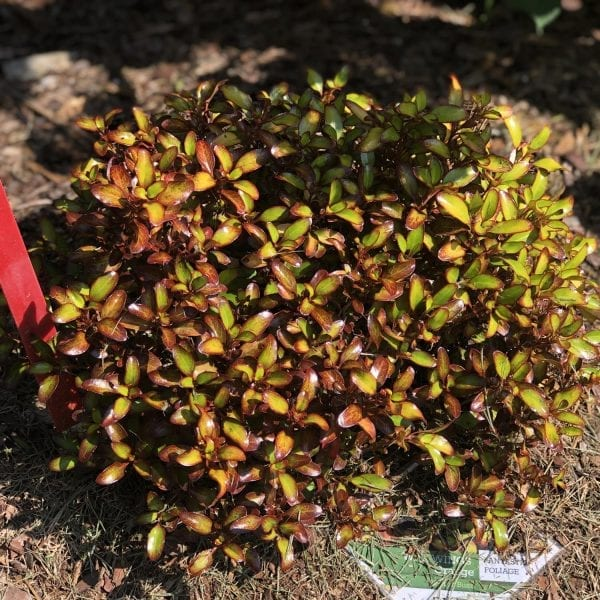 COPROSMA WAX WINGS ORANGE MIRROR BUSH