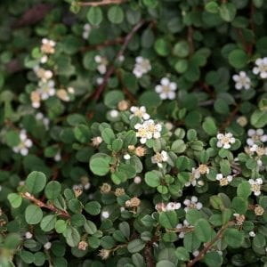 COTONEASTER LITTLE DIPPER COTONEASTER