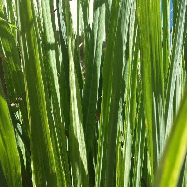 CYMBOPOGON LEMON GRASS HERB PIXABAY