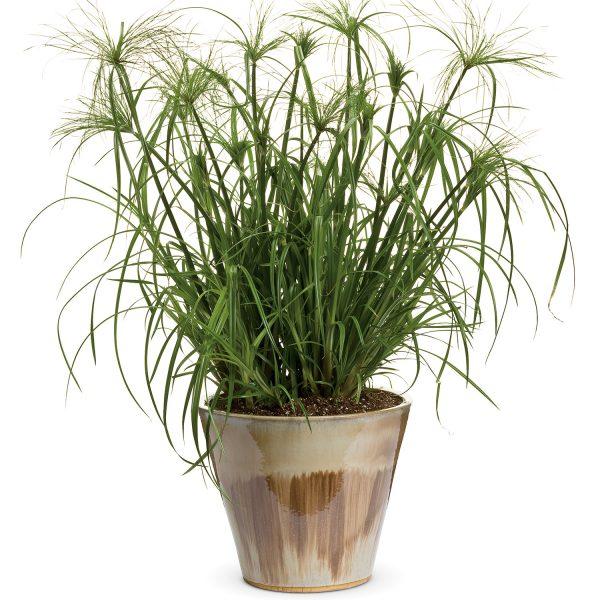 CYPERUS GRACEFUL GRASSES KING TUT EGYPTIAN PAPYRUS