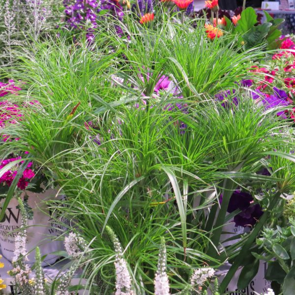 CYPERUS GRACEFUL GRASSES PRINCE TUT EGYPTIAN PAPYRUS DWARF