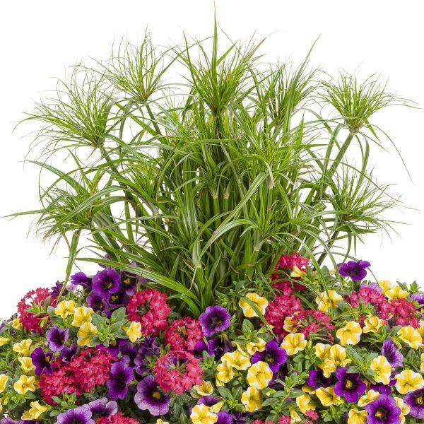 CYPERUS GRACEFUL GRASSES PRINCE TUT EGYPTIAN PAPYRUS DWARF