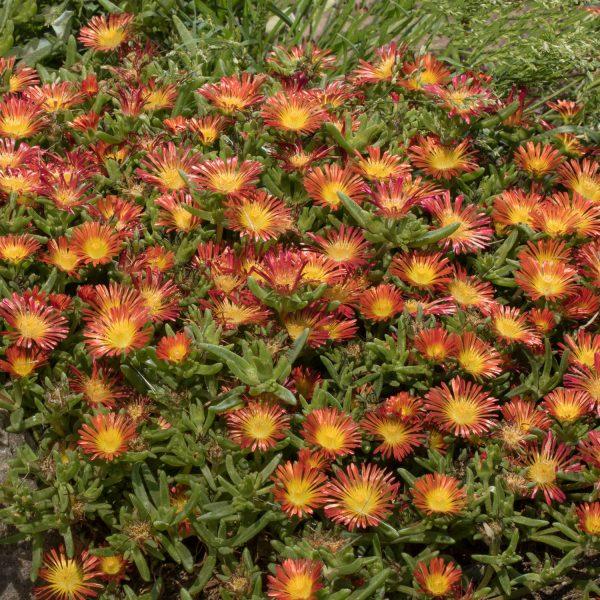 DELOSPERMA BUTTON UP FIRE ICE PLANT